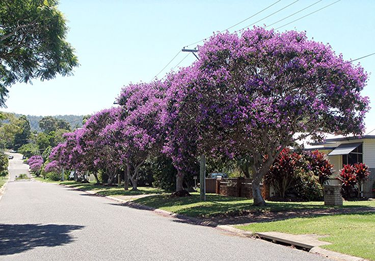 "Tibouchina lepidota, aka ""Siete Cueros"", colorful tree common in Colombia"