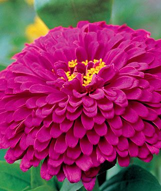 Zinnia, Purple Prince      Very disease and mildew resistant.  lifecycle: Annual    Full Sun   Height: 36  inches  Spread: 12-14  inches  Sowing Method: Direct Sow/Indoor Sow   Bloom Duration: 10  weeks