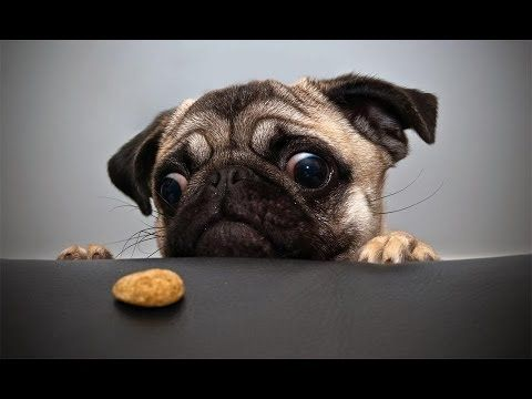 Ultimate Pug Video Compilation 2013 [HD] - http://www.gigglefinger.com/ultimate-pug-video-compilation-2013-hd/