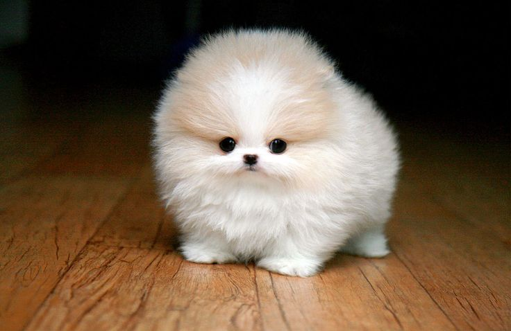 Teacup Pomeranian -- I bet this dog is so... not smart.