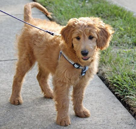 Reilly the Goldendoodle... i want this puppy!!!!