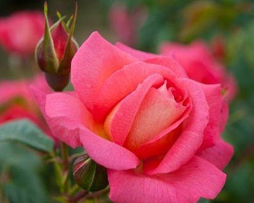 Růže´Shogun´/Rosa´Shogun´. Energicky rostoucí kultivar popínavé růže, dosahující do výšky 350-450cm. Květy má zajímavé, dvoubarevné, růžovou barvu doplňuje meruňkovo-oranžová.