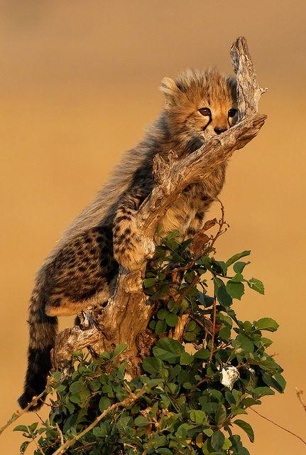 ...: Cheetahs, Cheetahcub, Animals, Big Cats, Cheetah Cub, Cubs, Wild Cats, Climbing Cheetah