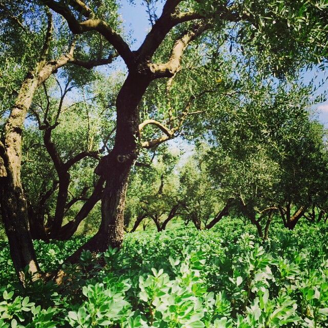 We heart our Olive Grove, back to the our place of origin #TerrediMutari #olivetree #olivegrove #extravirginoliveoil #bestplaces #hearthyplaces #picoftheday