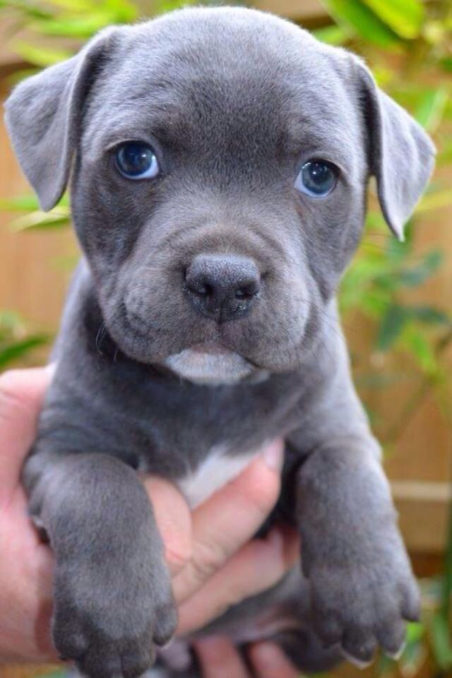 Beautiful Blue Amstaff Puppy What I Love Pinterest
