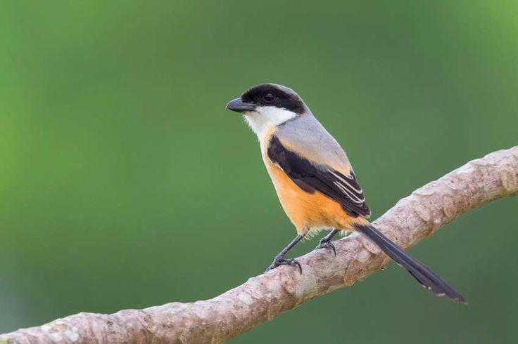 Pin Di Rangkuman Cara Melatih Burung Cendet Muda Agar Cepat Gacor