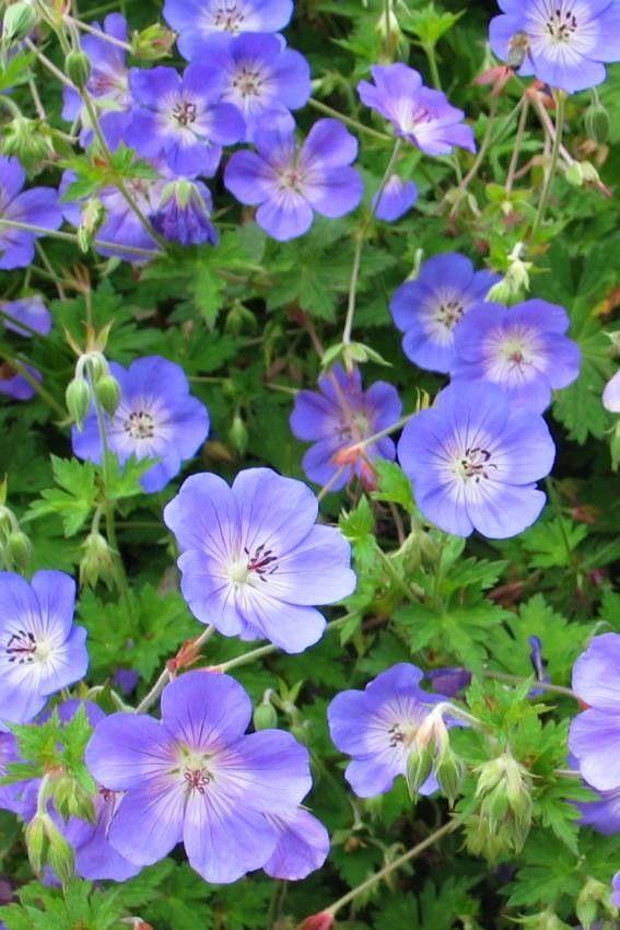 #flower #garden #geranium #roseanne