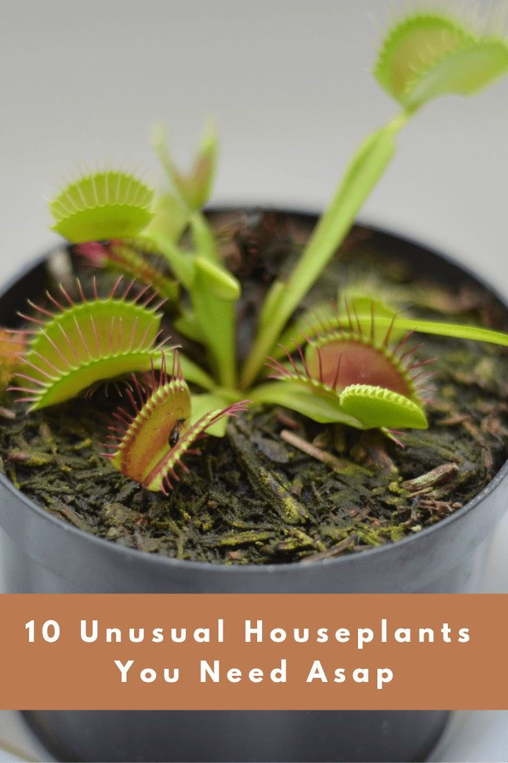 10 Rare And Unusual Houseplants You Need Asap Houseplants Plant Care Houseplant Unusual Plants