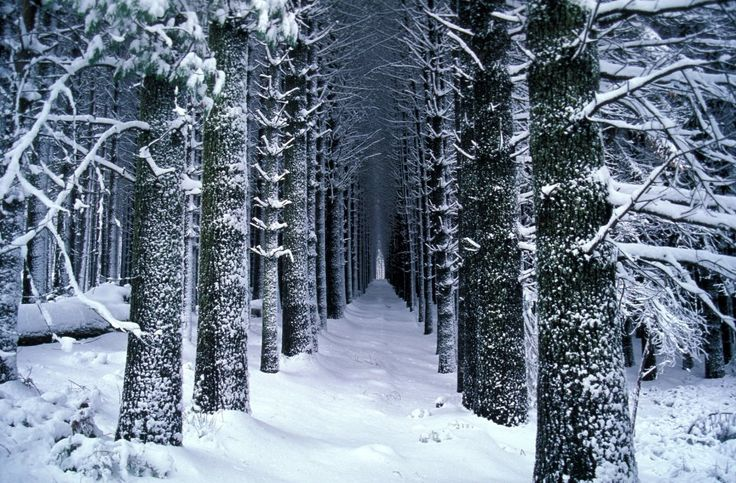 Sugar Pine Walk in winter. Approximately 15kms north of the township of Batlow in the Bago State Forest. A must visit