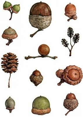 Acorns - miniature chart for my dollhouse natural history collection   Source: Bunbury's Bees and Other Eccentricities