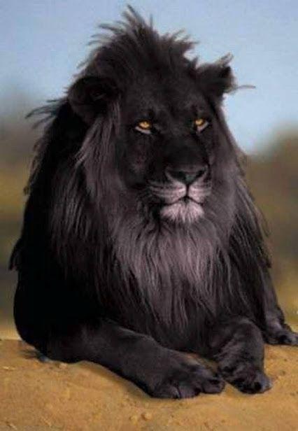 beautiful amazing lovely place - Comunidade - Google+   Primeiro leão-preto