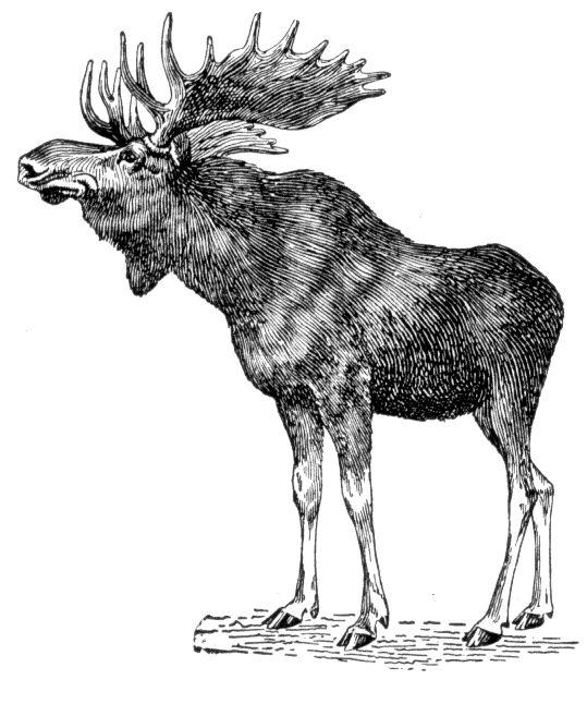 619 Best Moose Images On Pinterest Animal Anatomy Draw Animals