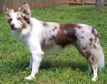 He said there might be a few Red merle Border Collies so we will wait and see. I cant wait Ive always wanted a red one!!!!!
