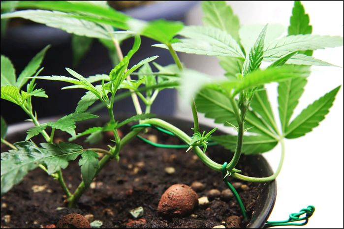 A Complete Guide to Topping, Training and Pruning Marijuana Plants