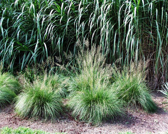 160 best images about ornamental grasses on pinterest
