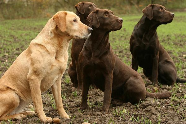 Yellow and chocolate labradors (Canis lupus familiaris)