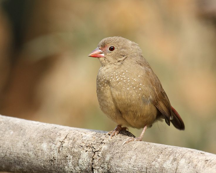 brown fire finch - Google Search