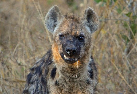 Young injured hyaena still manages to get its share of a hippo carcass - at Linyanti Tented Camp http://www.wilderness-safaris.com/explorations