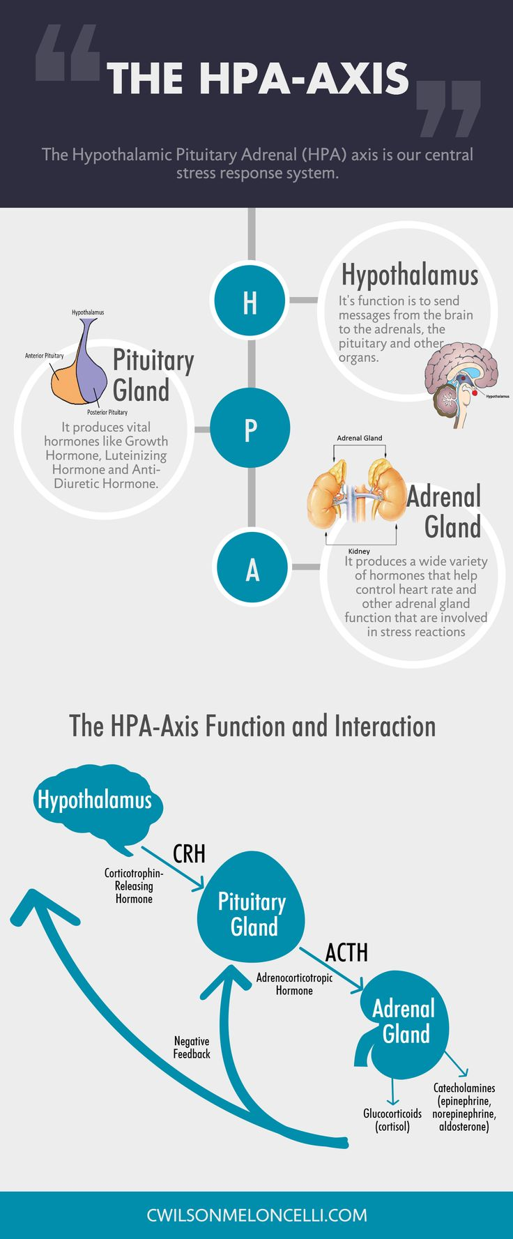 The Hypothalamic Pituitary Adrenal (HPA) axis is our central stress response system. It is a complicated set of relationships and signals that exist between the hypothalamus (a part of the brain), the pituitary gland (also part of the brain) and the adrenals (at the top of the kidney).