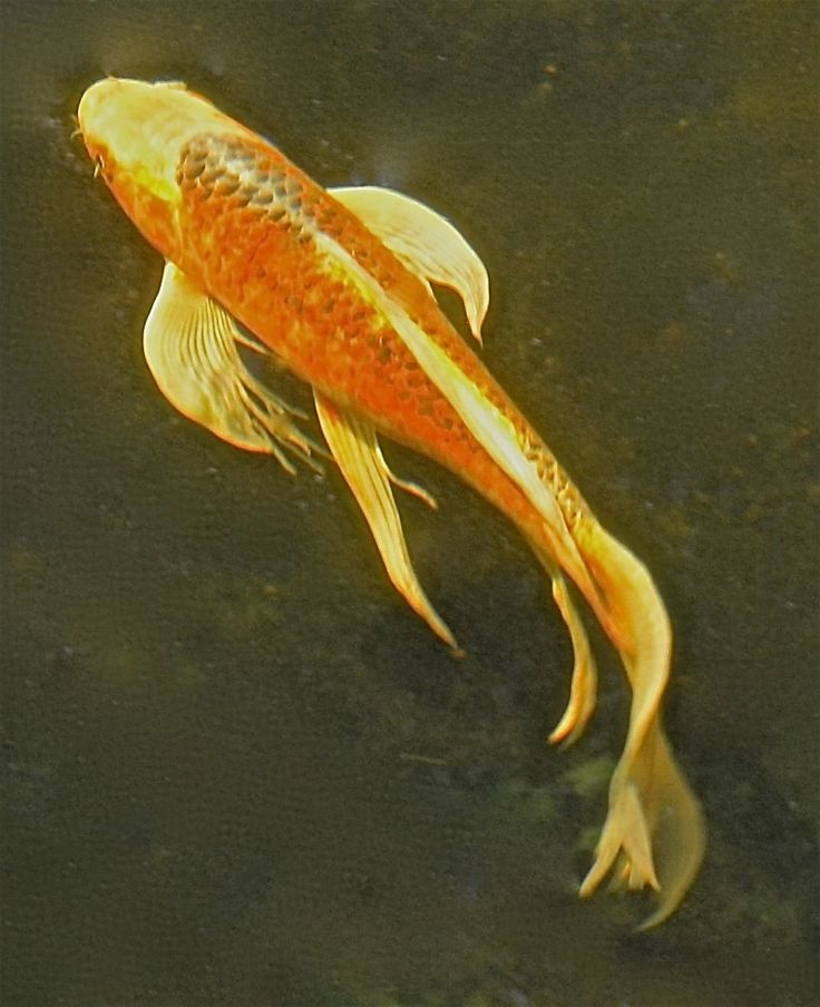 LIVE 22 INCH BUTTERFLY KOI FISH FOR SALE