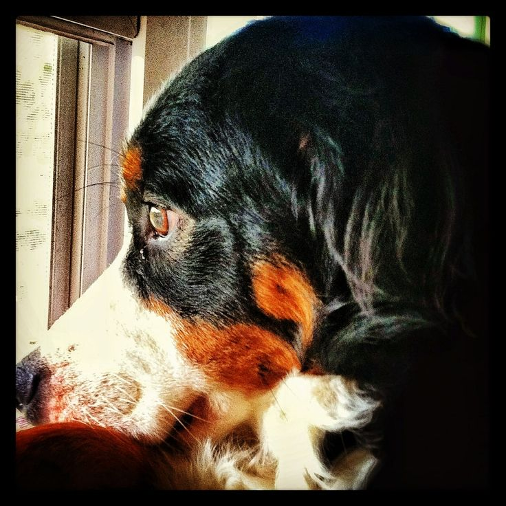 Bernese mountain dog my Nana Lee
