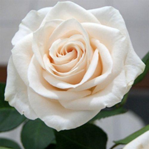 Vendela Roses White Ivory And Cream Flowers Pinterest