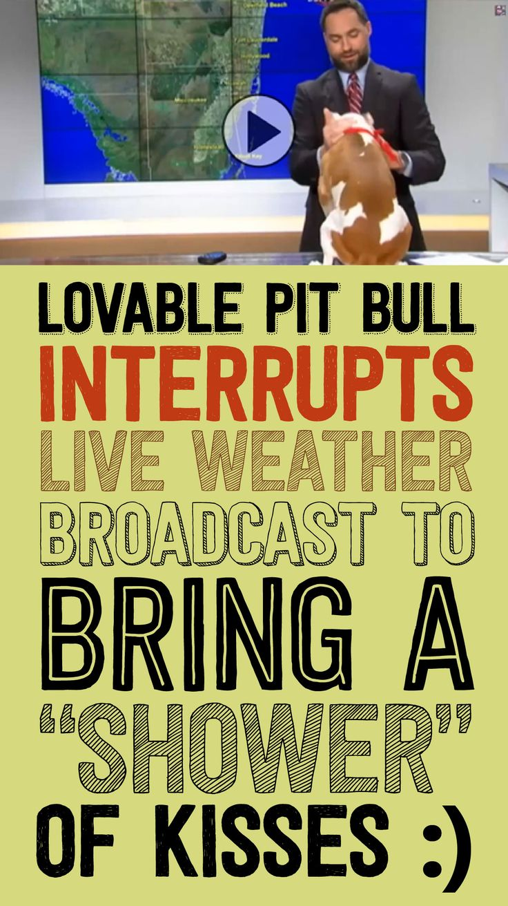 Lovable Pit Bull Interrupts LIVE Weather Broadcast To Bring A Shower Of Kisses! <3