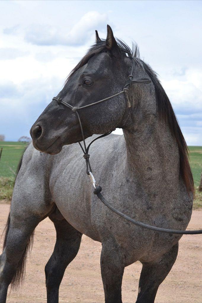 Blue Fox Hancock | KeSa Quarter Horses