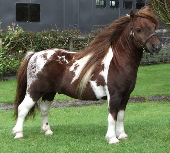 - looks like it could have some appy blood in this pinto - Shetland, Kerswell Mosaic