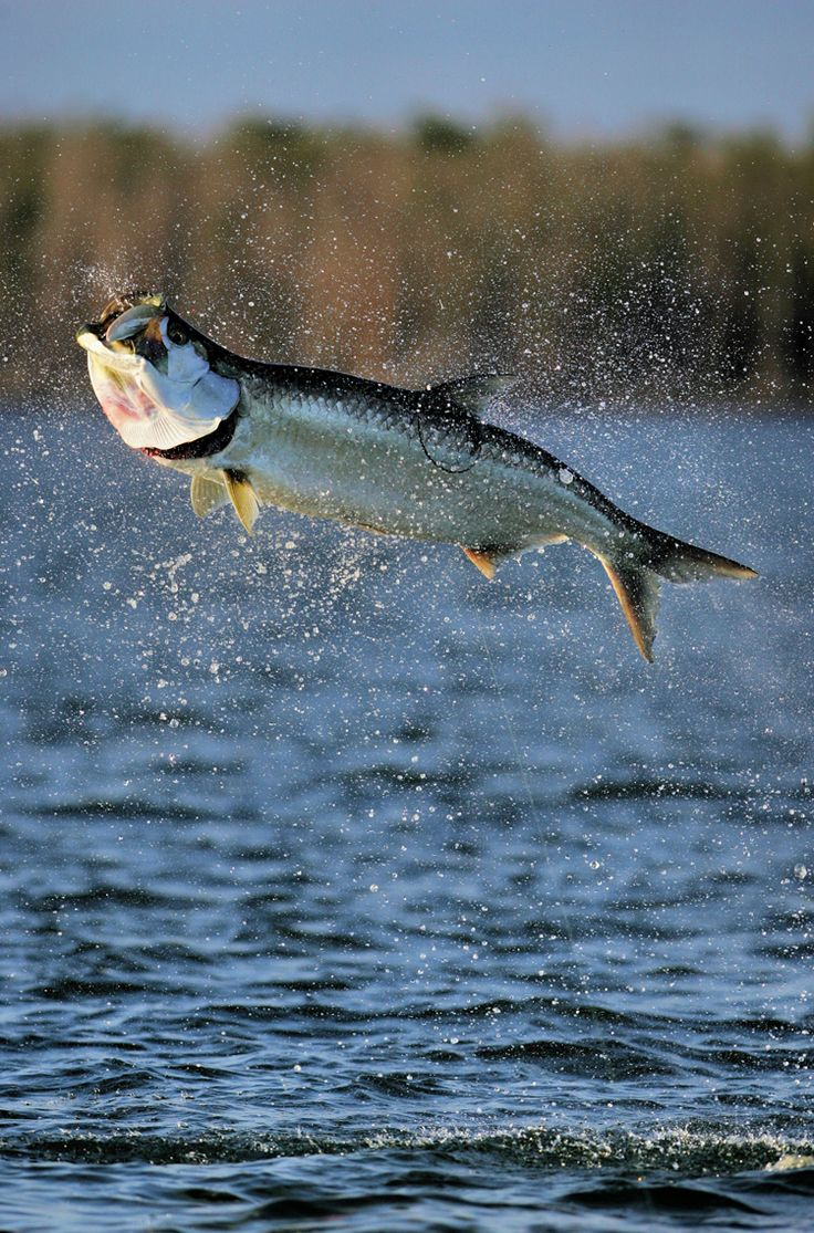 Freshwater fish jumping - Did This In Florida Once And Didn T Catch Even One Fly Fishing For Tarpon Is One Of The Biggest Challenges In Fly Fishing The Fish Are Huge They Jump Up
