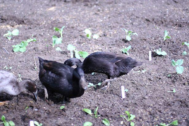 ducks-in-winter-garden (With images) | Backyard ducks ...