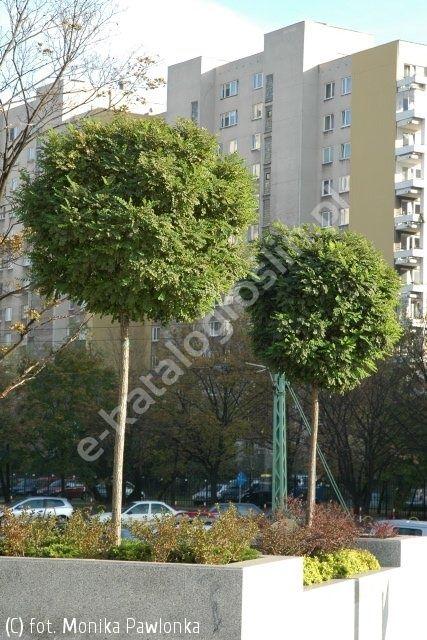 robinia akacjowa 'Umbraculifera' - Robinia pseudoacacia 'Umbraculifera' | Katalog roślin - e-katalog roślin