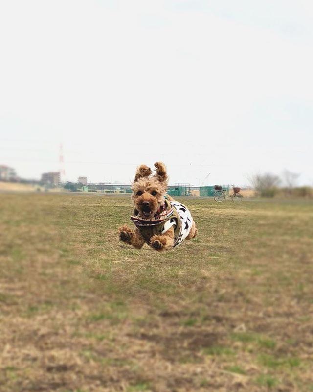 正にジャンプ犬🐩 . 大ハッスルの後、実家に置いて帰るのが いつも切ない💦ずっと一緒に居たいなぁ。 . . . #トイプードルレッド#トイプーレッド#トイプードル部#愛犬#犬バカ部#トイプードル2歳#デカプー#犬バカ#犬は家族#犬のいる暮らし#ぶさかわ犬#わんすたぐらむ#わんこ部#犬の散歩#飛び犬#ジャンプ犬#飛ぶ犬#フライングドッグ #toypoodlelovers#toypoodlegram#flyingdog