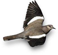 Home - South Texas Dove Hunts | South Texas Dove Hunts