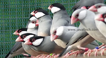 Java Finch or Java Sparrow