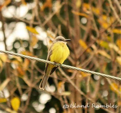 Island Rambles: Wandering Tropical Kingbird