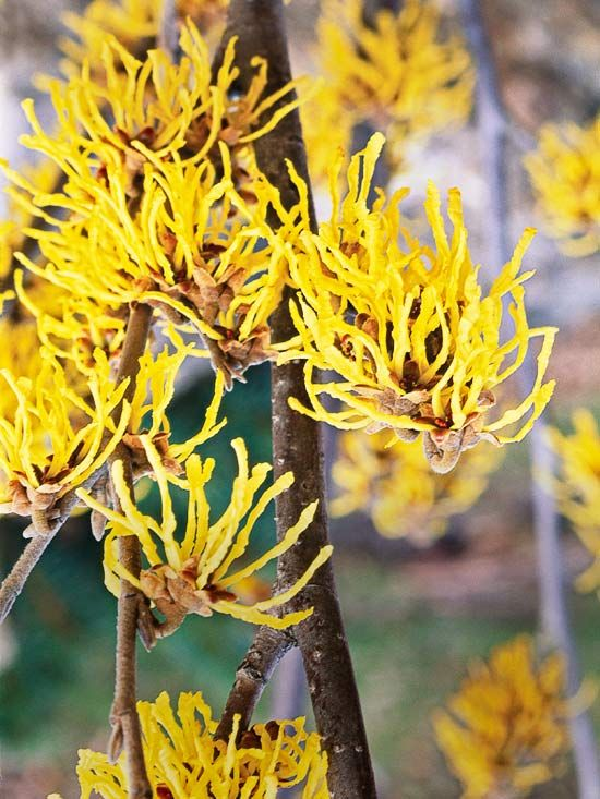 Witch Hazel - Give your garden structure with this flowering shrub. Native to North America, common witch hazel offers spidery yellow flowers and wonderful golden-yellow fall foliage.