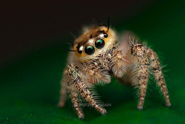 Juvenile Hyllus Diardi by Zeen., via Flickr
