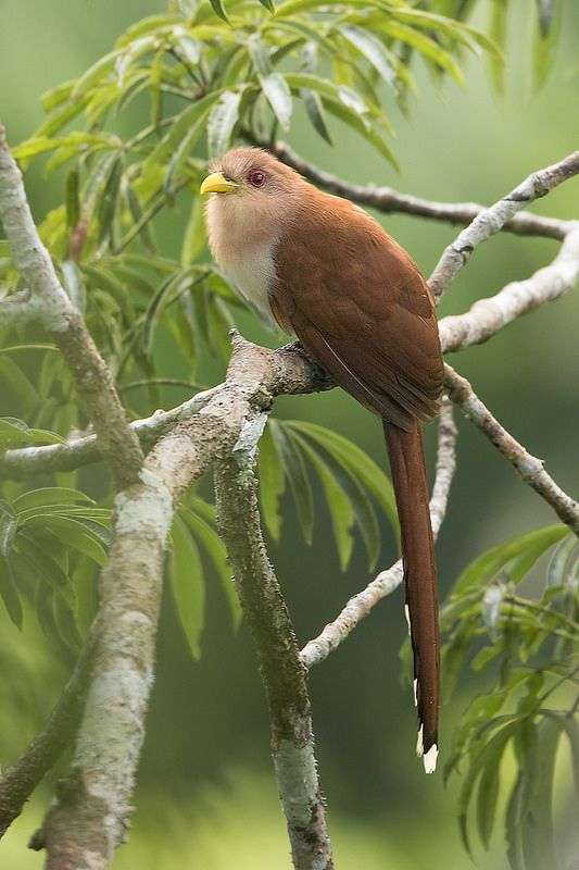 Squirrel Cuckoo 1000+ images about pta...