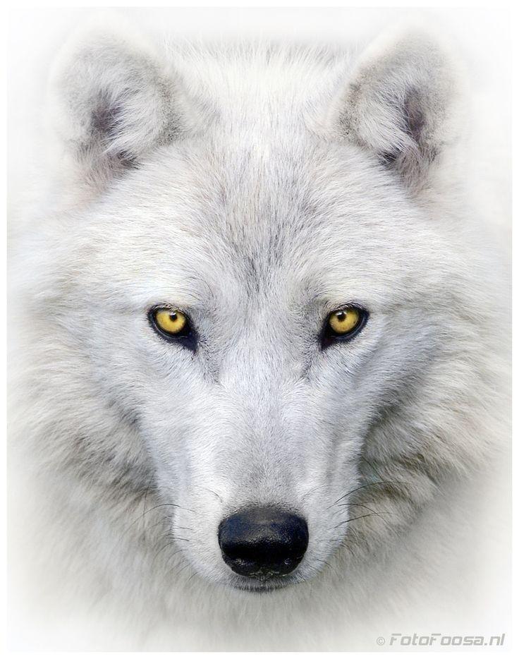 Белый волк картинки 5 класс, открытки поздравление прикольные
