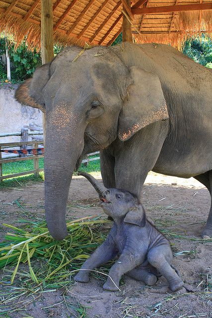 A mother and her calf - so much love! Thai Elephant Conservation Center, Thailand