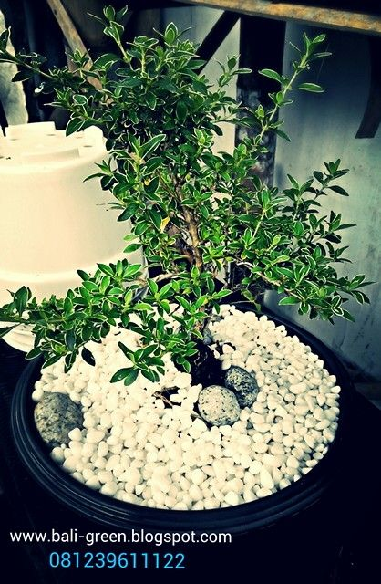 Go Green with balinese mini bonzai only at Putra Garden Tanaman Hias - Unique Houseplants in Denpasar Bali