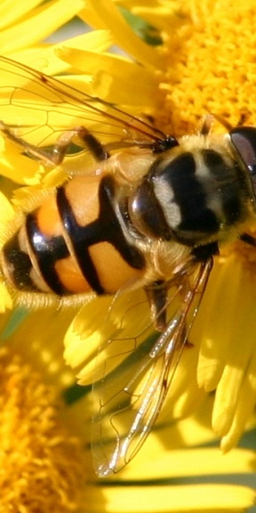 just be - a hover fly