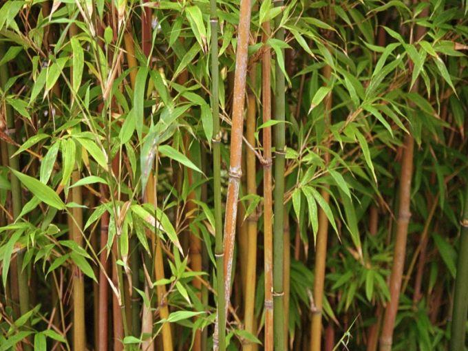 47 besten bambus bilder auf pinterest bambus g rtnern. Black Bedroom Furniture Sets. Home Design Ideas