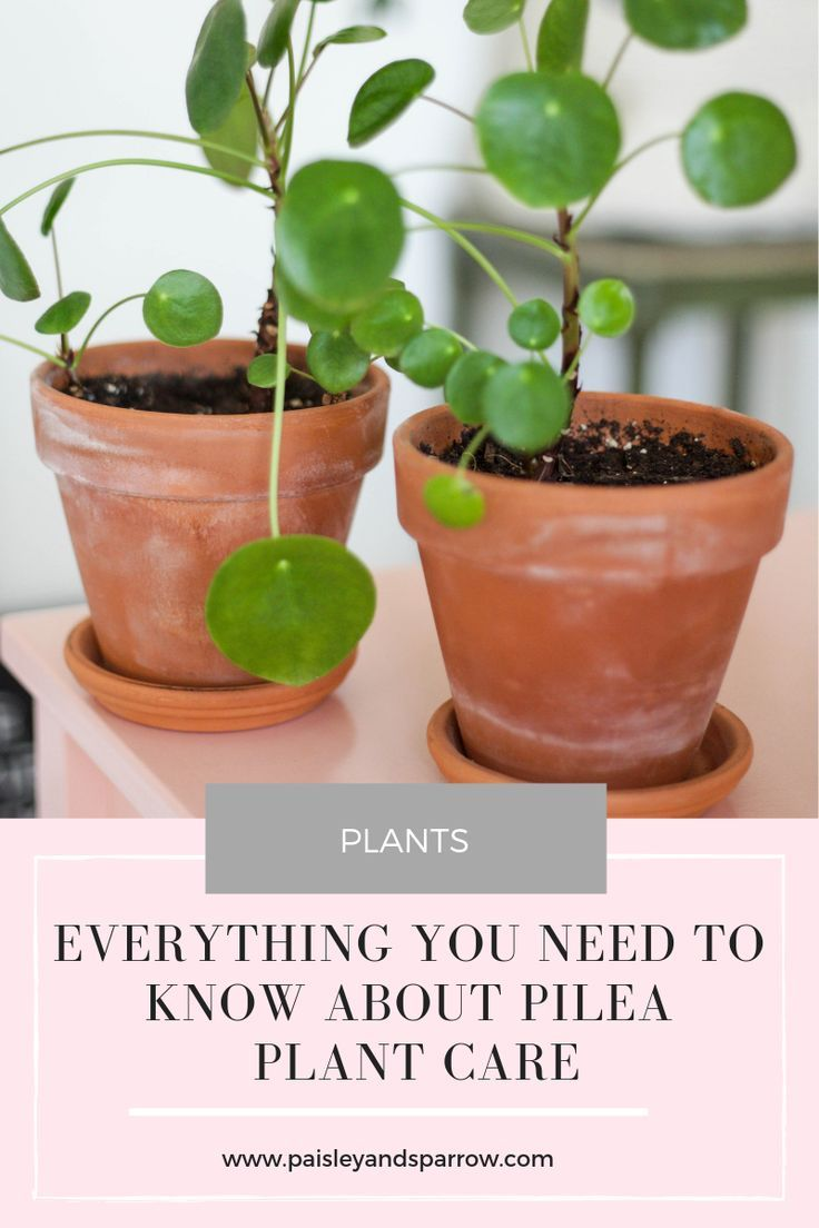 Chinese Money (Pilea) Plant Care Tips – home + decor