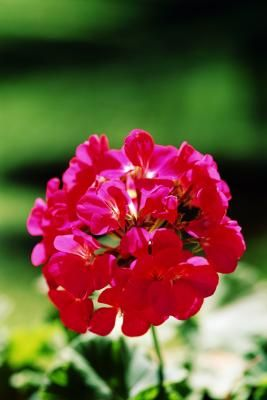 Geranium Dormant Storage - Recommends bare root watering of one hour every two months during storage. Discard any stems that remain shriveled after soaking.
