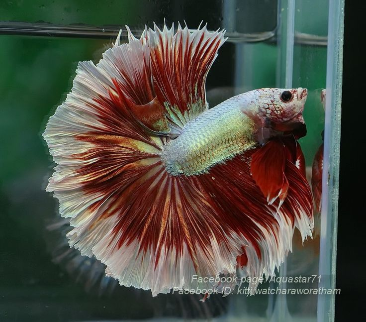 75 best images about awesome cool betta fish on pinterest for Cool betta fish names