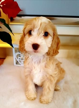 Fabulous Apricot/White Pra Clear Cockapoo Puppies For Sale in Bury St Edmunds, Suffolk   Preloved