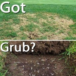 How to Kill Grubs this Fall - Grub management, control, and prevention -- guide to killing and preventing grubs that are destroying your lawn
