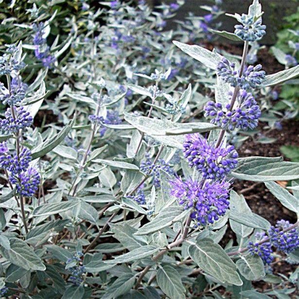 Caryopteris clandonensis Sterling silver® - Spirée bleue